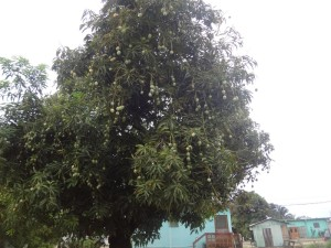 Mango Tree. fruit was growing everywhere