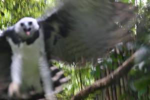 Up Close and Personal with an endangered Harpy Eagle